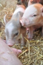 piglets and fun house shots 005